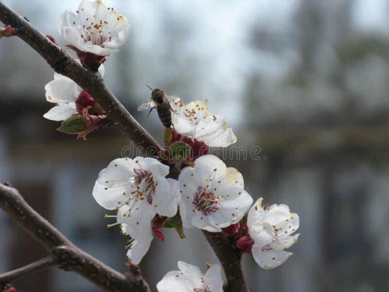 Drzewna kwitnie gałąź fotografia royalty free