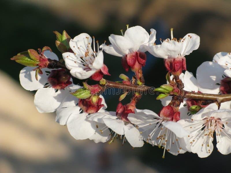 Drzewna kwitnie gałąź obraz royalty free