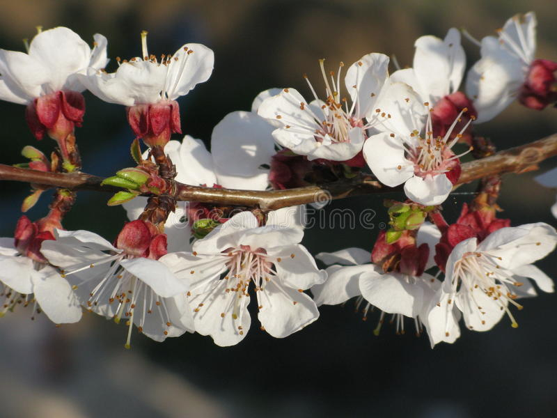 Drzewna kwitnie gałąź obrazy royalty free
