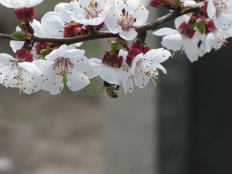 Drzewna kwitnie gałąź zdjęcia stock