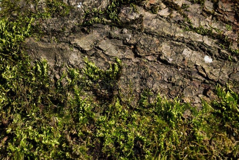 Drzewna miedza z i mech w słońcu, Austria zdjęcia stock