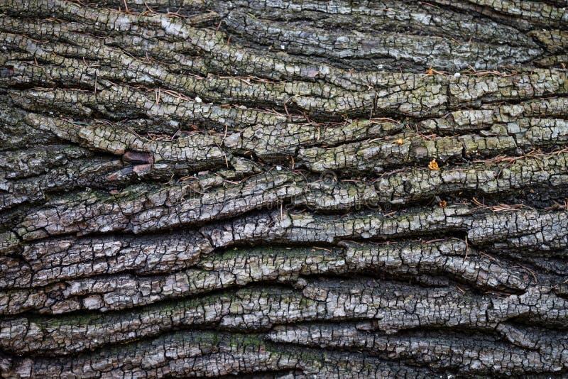 Drzewna miedza z jedlinowymi igłami i mech, Austria obrazy stock