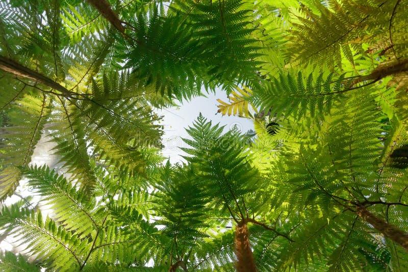 Drzewna paproć zdjęcie royalty free