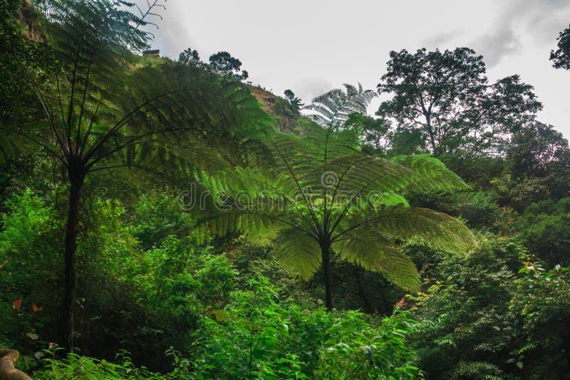 Drzewna paproć w lesie tropikalnym obraz stock