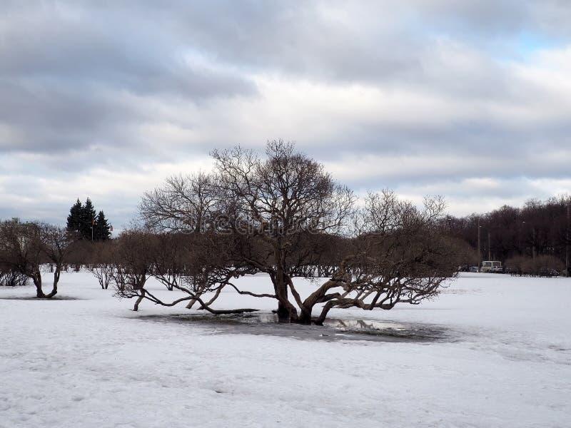 Drzewna pozycja na polu z roztapiającym śnieżnym wiosna krajobrazem fotografia stock