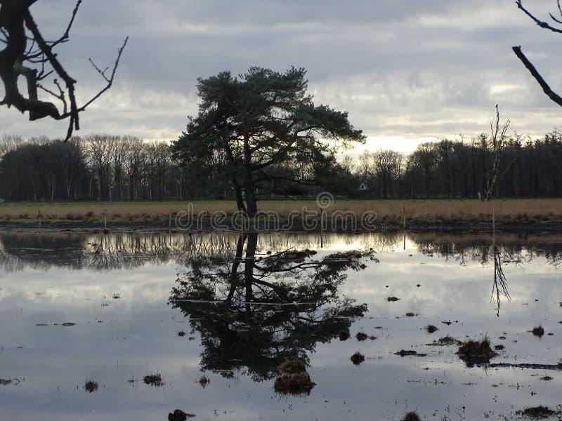 Drzewna Scots sosna odzwierciedlająca w łacie woda bagna obraz royalty free