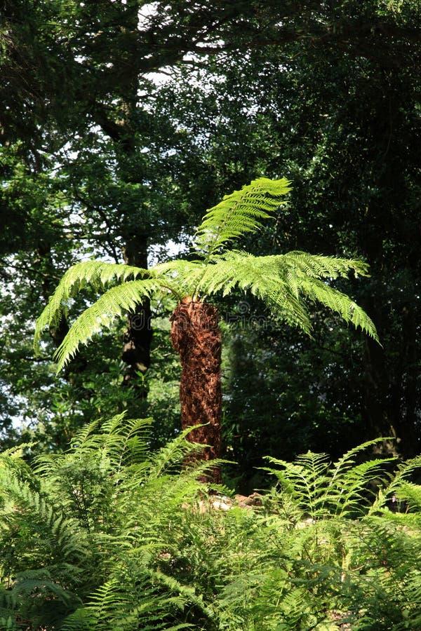 drzewne cyatheales paprocie fotografia royalty free