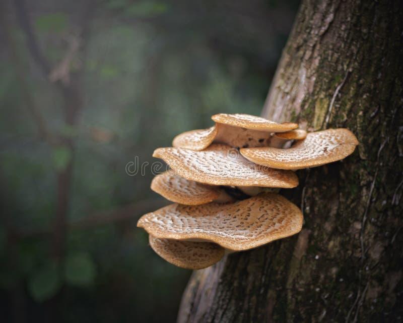 Drzewne grzybowe muchomor pieczarki obraz stock
