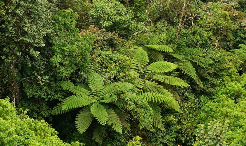 Drzewne paprocie przy tropikalnym średniogórzem Borneo las zdjęcia royalty free