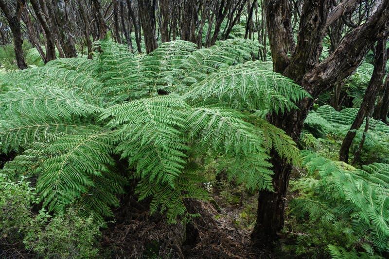 Drzewne paprocie r w tropikalnym lesie deszczowym zdjęcie royalty free
