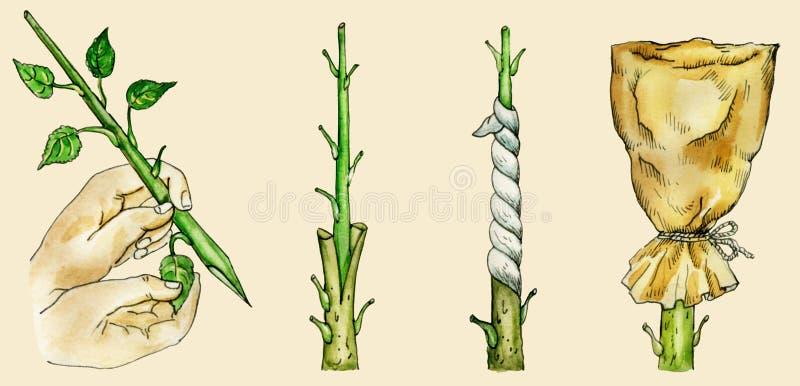 Drzewne ` s kopulizaci rozłupane metody ilustracja wektor