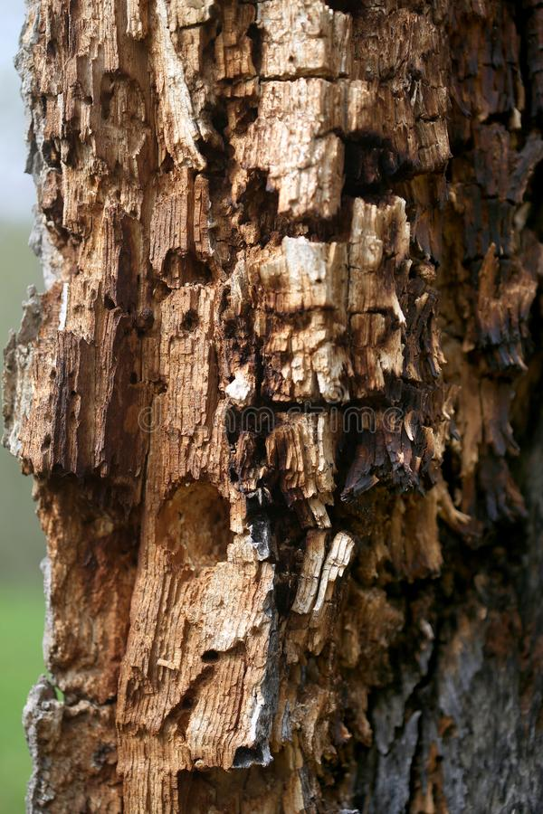 Drzewnego bagażnika butwienie z dzięcioł dziurami zdjęcie stock