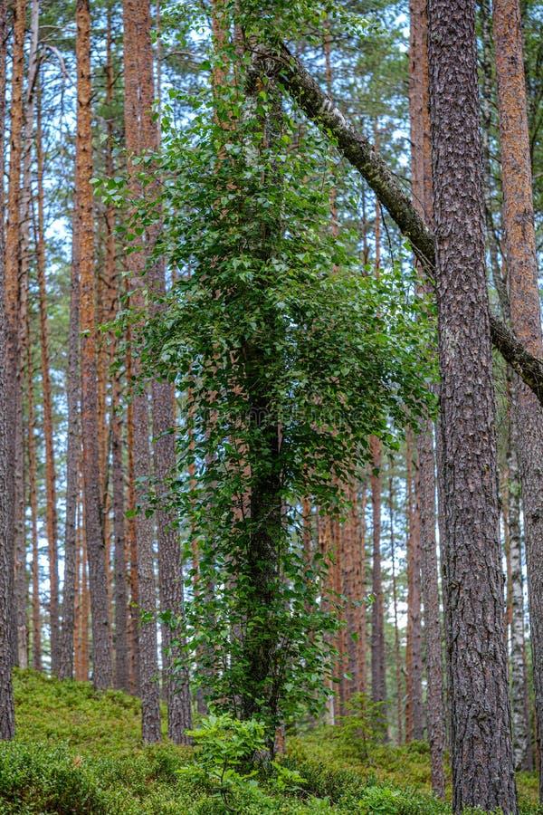 drzewnego bagażnika ściana w zielonym lesie w lecie zdjęcie stock