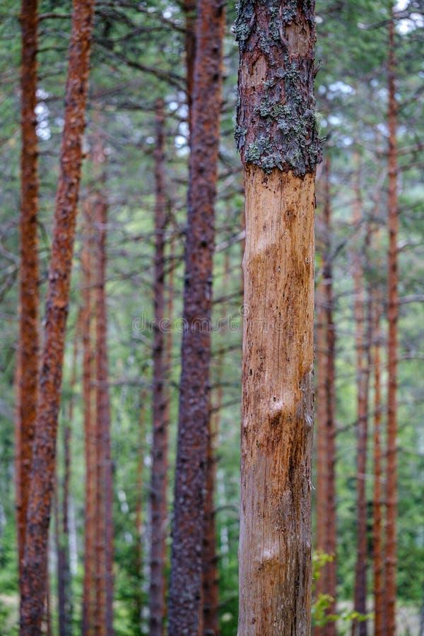 drzewnego bagażnika ściana w zielonym lesie w lecie obraz stock