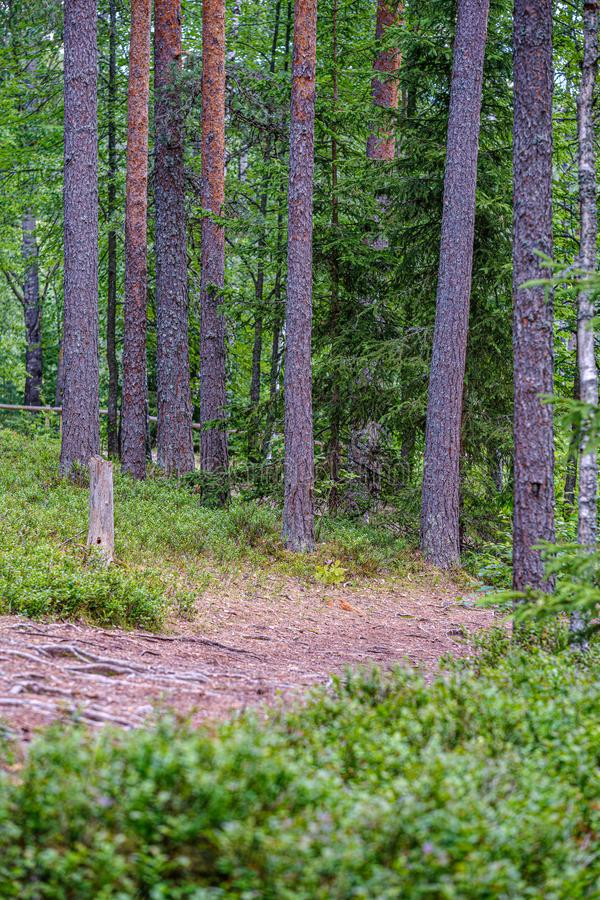 drzewnego bagażnika ściana w zielonym lesie w lecie obrazy stock