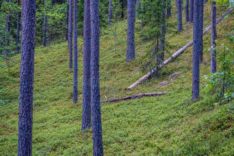 drzewnego bagażnika ściana w zielonym lesie w lecie zdjęcie royalty free