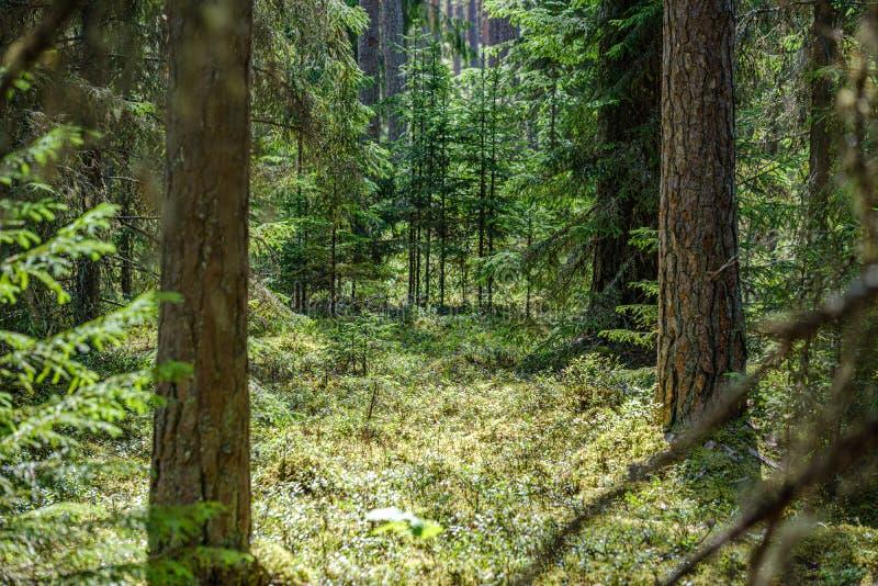 drzewnego bagażnika ściana w zielonym lesie w lecie fotografia royalty free