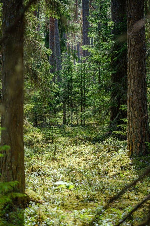 drzewnego bagażnika ściana w zielonym lesie w lecie fotografia stock