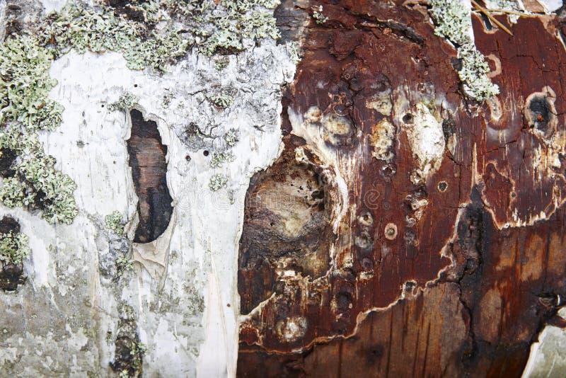 Drzewnego bagażnika barkentyna textured z liszaj czerwieni drewnem Natura fotografia royalty free