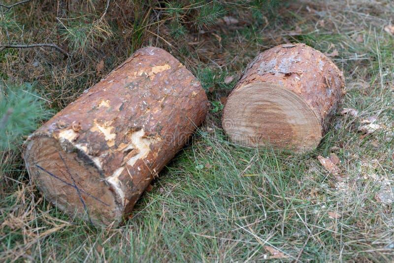 Drzewnego bagażnika cięcie zmotoryzowanym saw Kawałki sosnowy drewno w zdjęcie royalty free