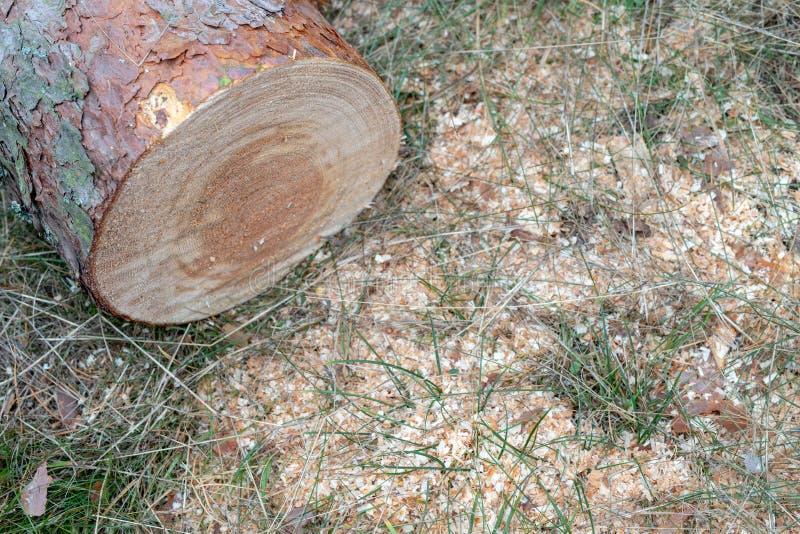 Drzewnego bagażnika cięcie zmotoryzowanym saw Kawałki sosnowy drewno w obraz stock