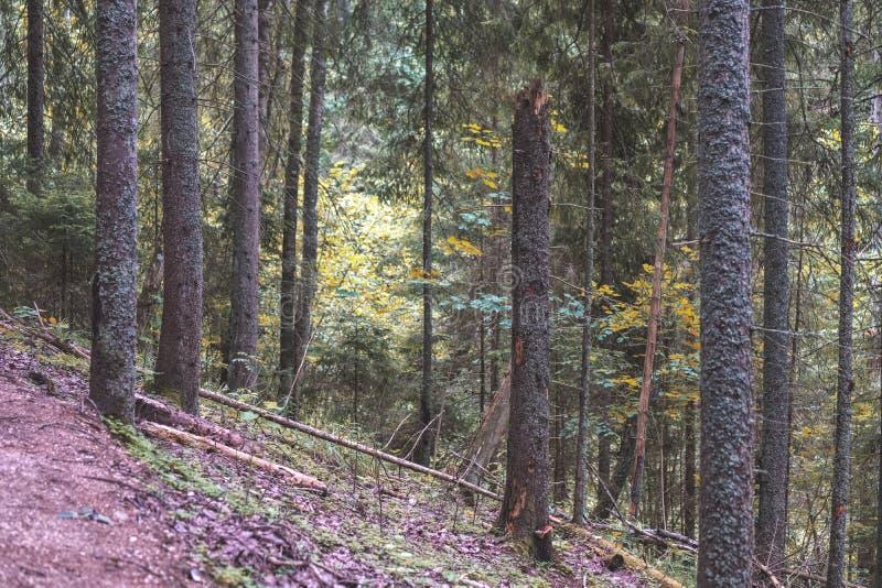 drzewnego bagażnika sylwetki w zielonym lesie - rocznika retro spojrzenie fotografia royalty free