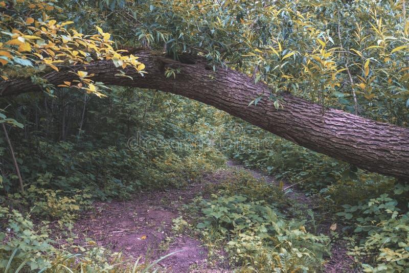 drzewnego bagażnika sylwetki w zielonym lesie - rocznika retro spojrzenie obrazy stock