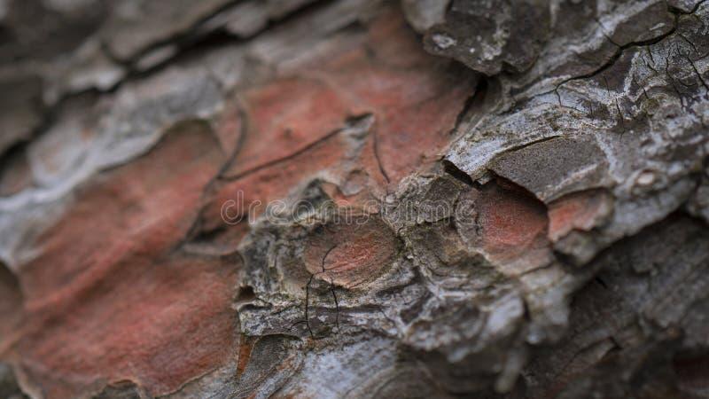 Drzewnego bagażnika szczegół odrewniały sosnowy cortex obraz royalty free