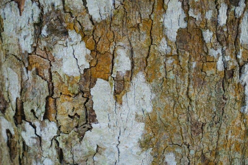 Drzewnego bagażnika szczegółu tekstura jako naturalny tło Korowatego drzewa tekstury tapeta Durian drzewna barkentyna abstrakcyjn obrazy stock