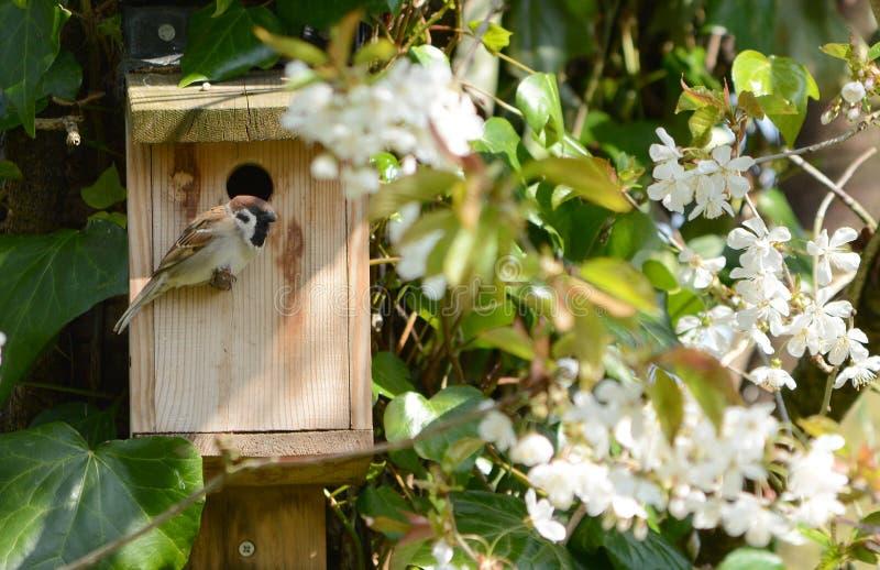 Drzewnego wróbla siedzący strzeżenie wejście gniazdowy pudełko obrazy stock