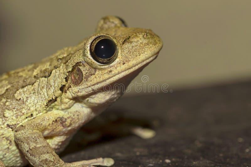 Drzewnej żaby profil obraz stock