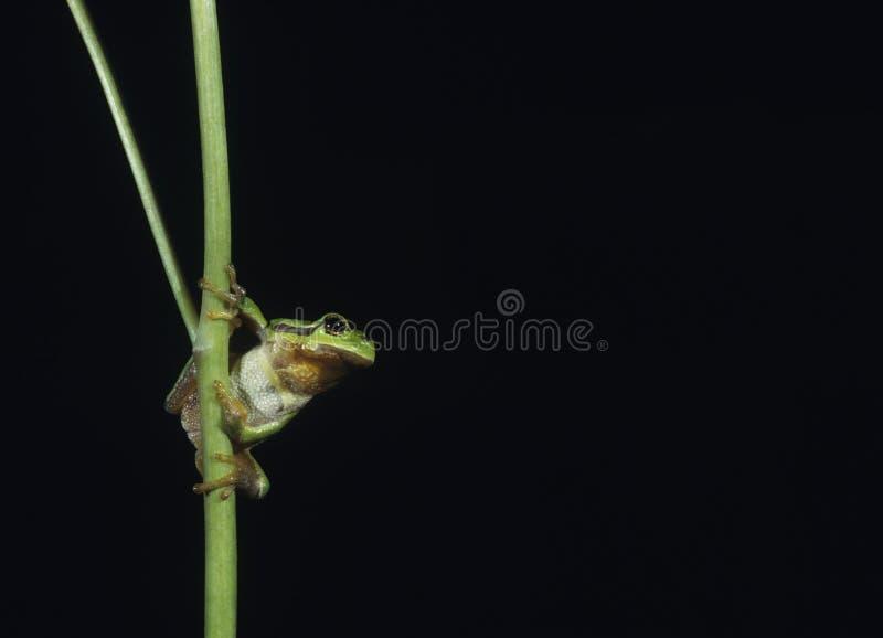 Drzewnej żaby równoważenie na badylu zdjęcie stock