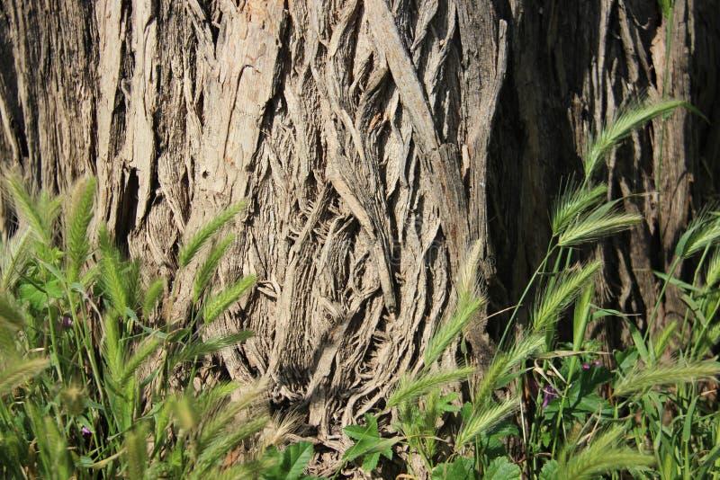 Drzewnej barkentyny świrzepa I tekstury obrazy stock
