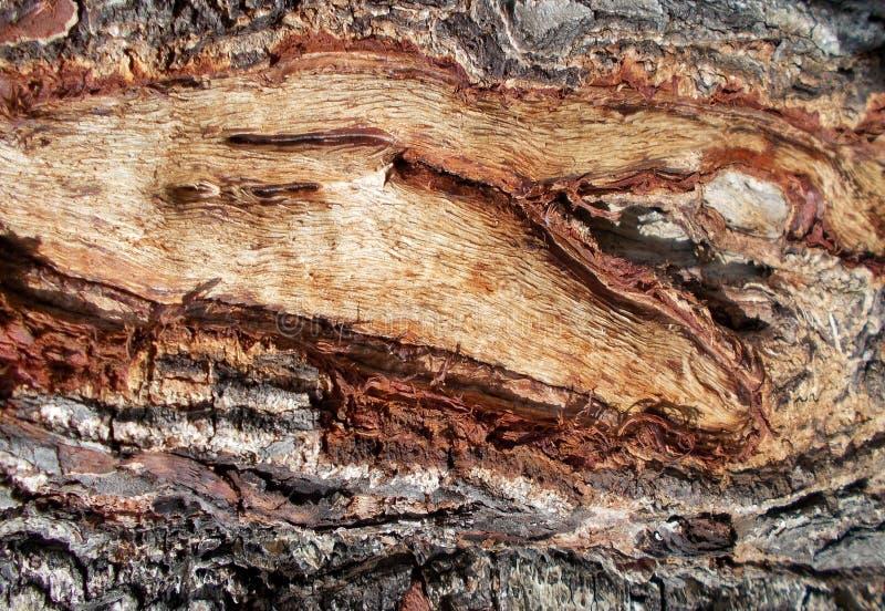 Drzewnej barkentyny tekstury wzory, drewniana skórka dla tło dekoracja, cortex zdjęcie royalty free