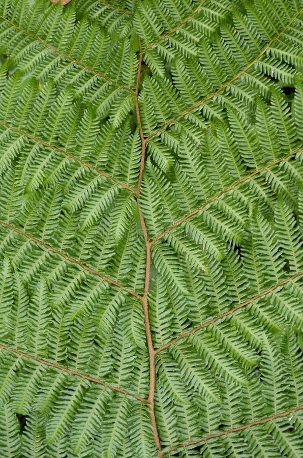 Drzewnej paproci szczegół zdjęcie stock