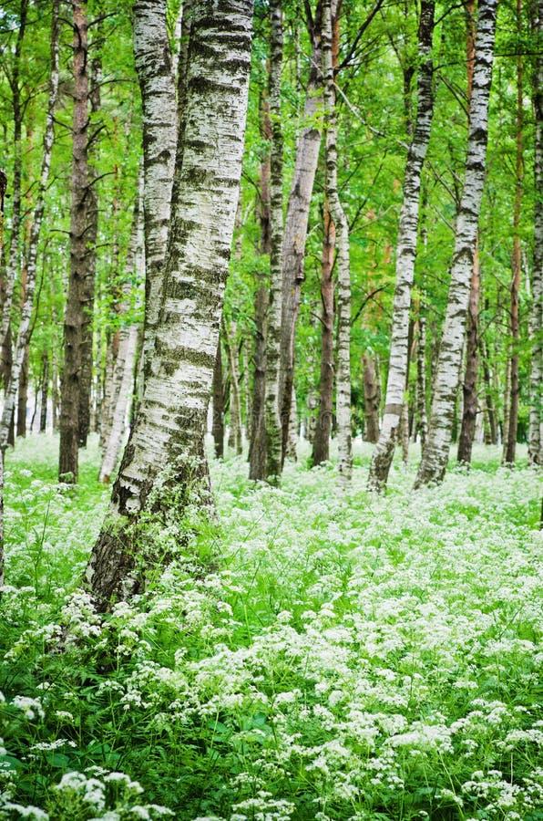 Drzewni bagażniki w brzoza lesie dzikich kwiatach i obraz royalty free