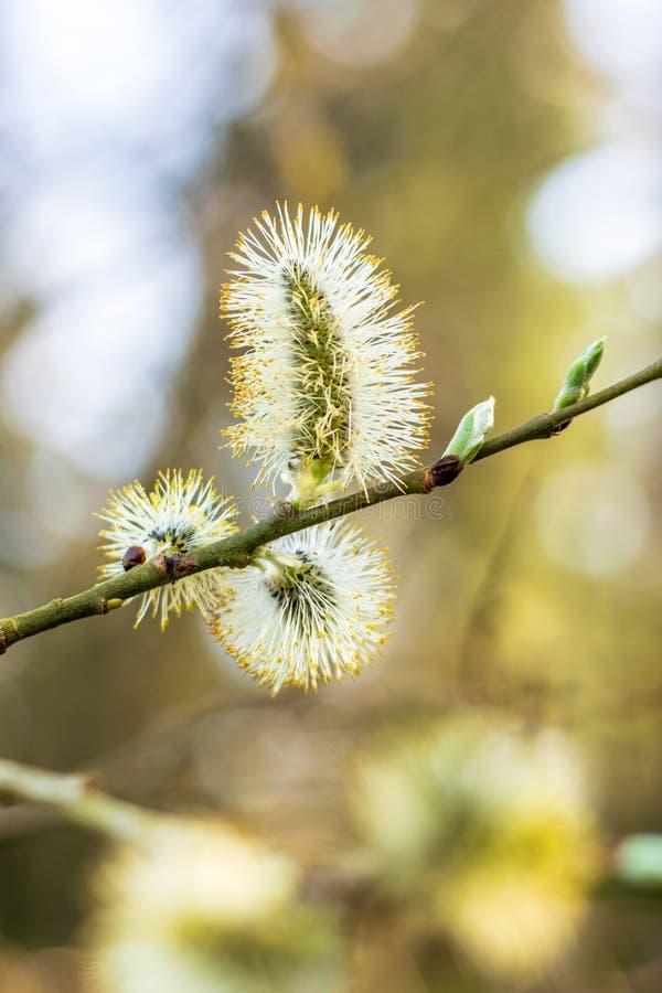 Drzewni blosomms zdjęcia royalty free