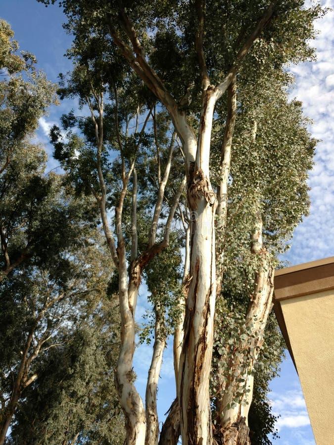 Drzewni eucaliptis zdjęcia stock