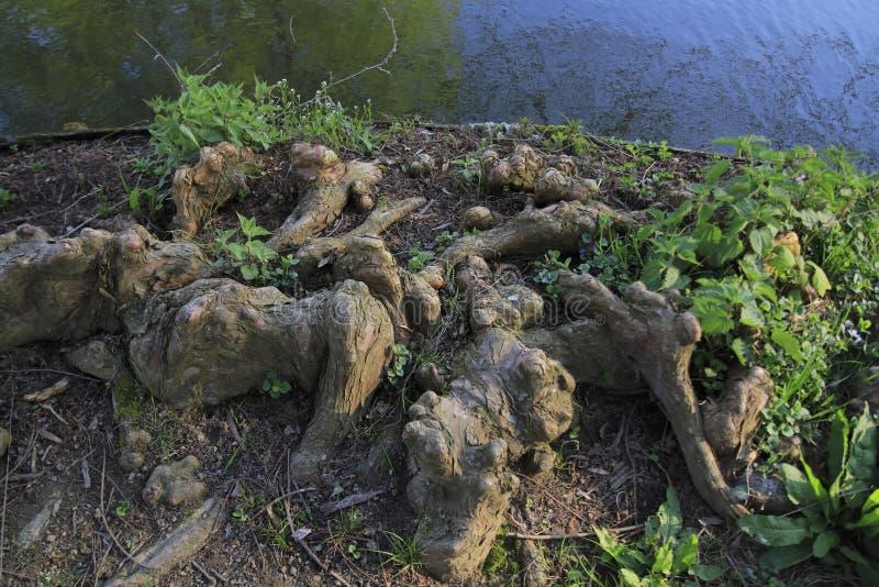 Drzewni korzenie r up w jeziorze, elfach i zabawnym, w domu obrazy stock