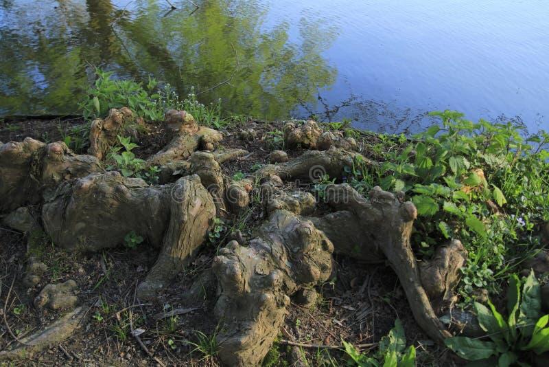 Drzewni korzenie r up w jeziorze, elfach i zabawnym, w domu obraz royalty free
