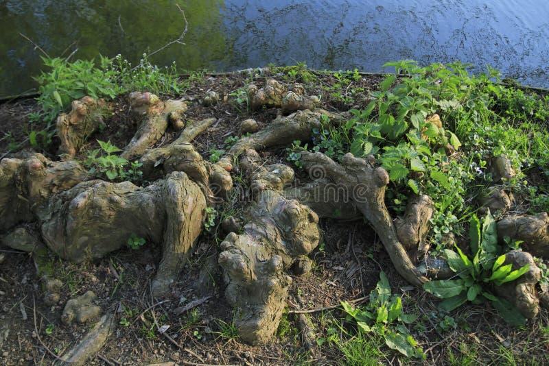 Drzewni korzenie r up w jeziorze, elfach i zabawnym, w domu fotografia royalty free