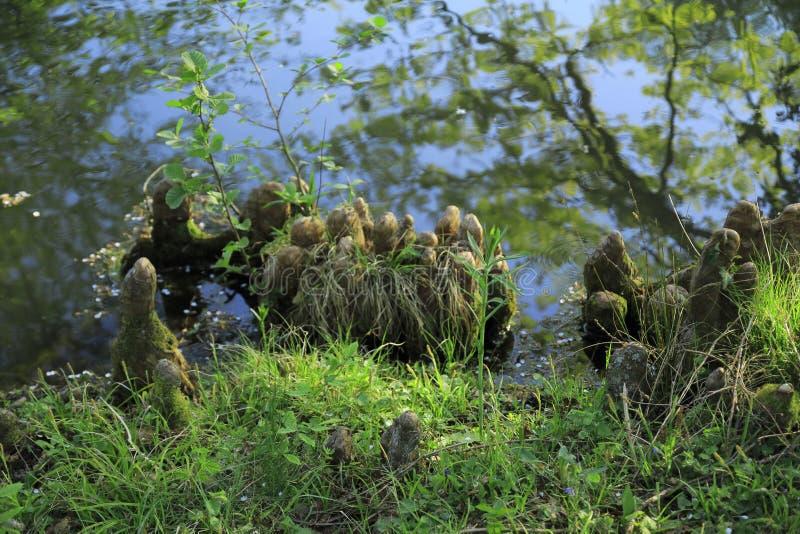 Drzewni korzenie r up w jeziorze, elfach i zabawnym, w domu zdjęcie stock
