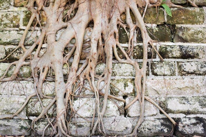 Drzewni korzenie r w dół wszystko obrazy royalty free