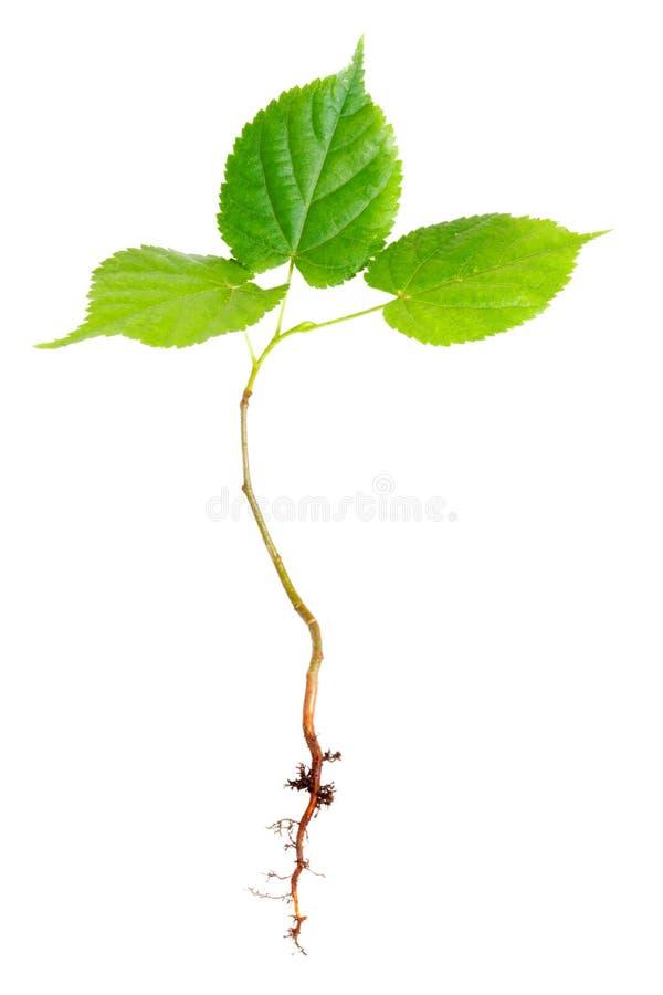 drzewni potomstwa zdjęcia stock