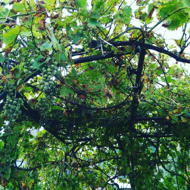 Drzewni winogrona obrazy royalty free