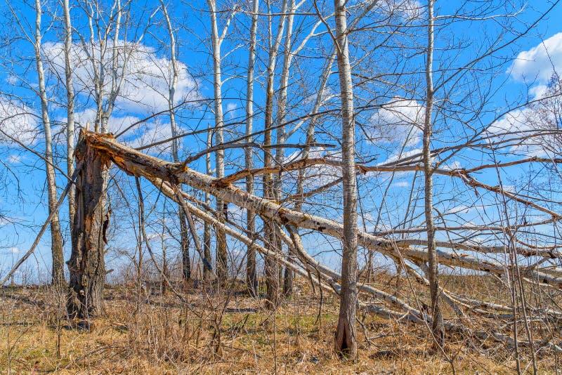 Drzewny bagażnik łamający silnym wiatrem obrazy stock