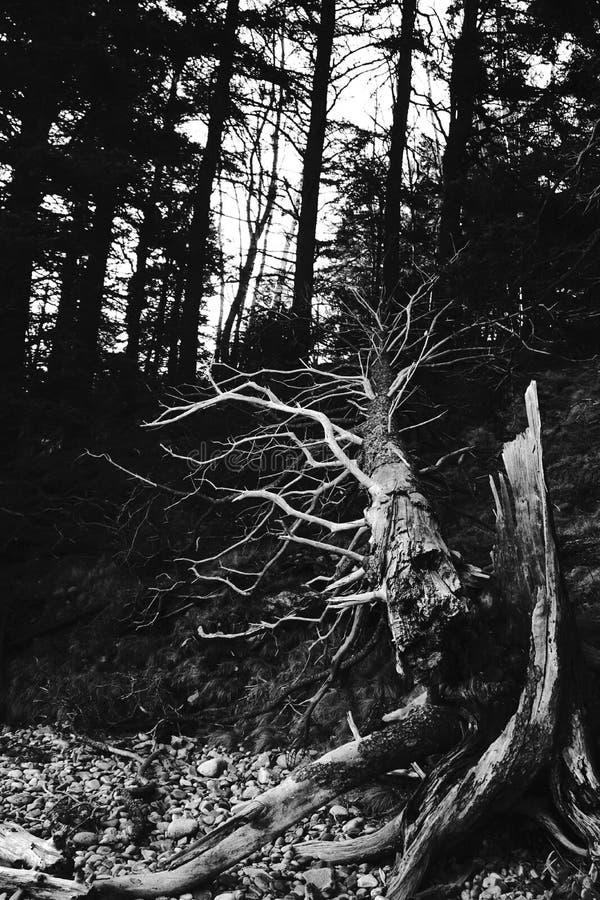 Drzewny bagażnik obraz stock