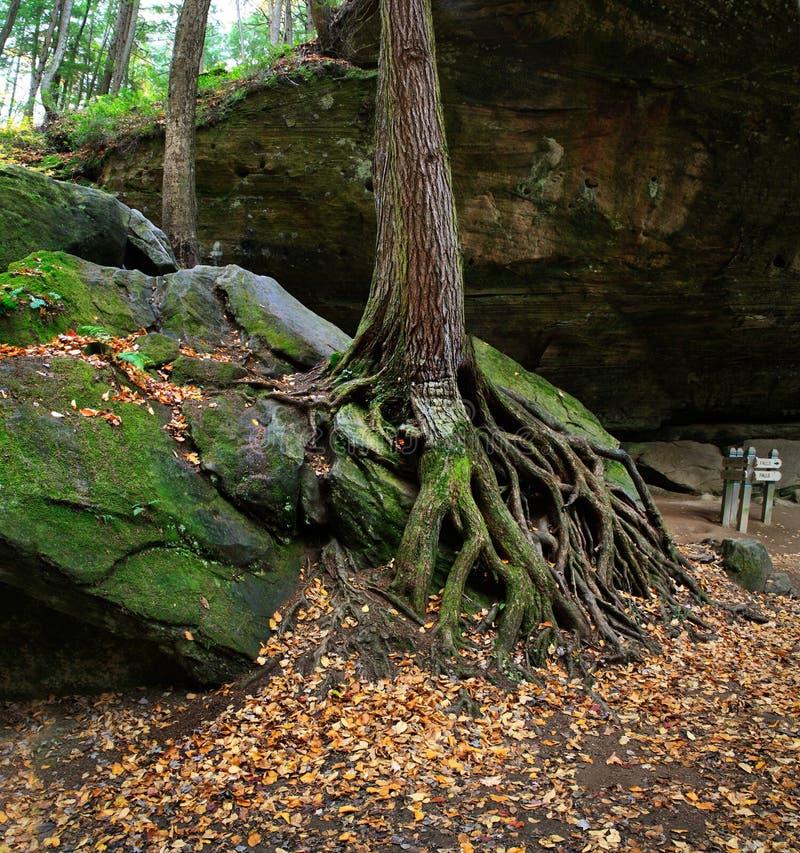 Drzewo I korzenie obrazy stock