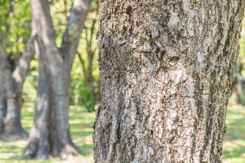 Drzewny bagażnik, imię: Srebny tubowy drzewo, Tabebuia aurea obrazy royalty free