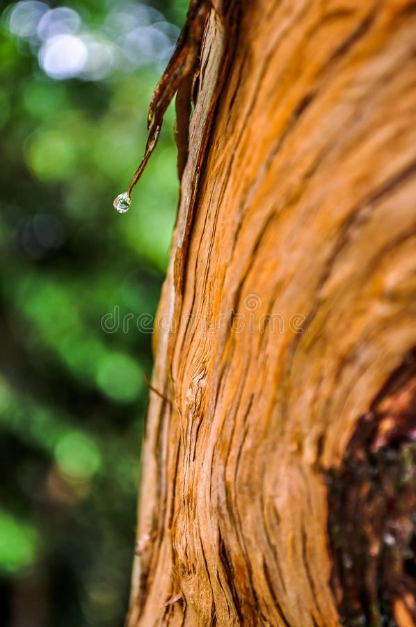 Drzewny bagażnik po ulewnego deszczu fotografia royalty free